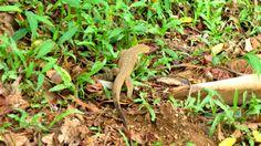 Monitor lizard (at pinnawala) Sri Lanka