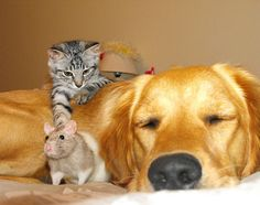 *Gizmo the kitty and his best friends, Karma the golden retriever and Cinnamon the rat. They are each other's besties. This is photo #1