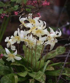 Mahogany Fawnlily 'White Beauty' (Erythronium revolutum)