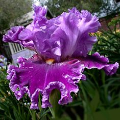 Tall Bearded Iris 'About Town'