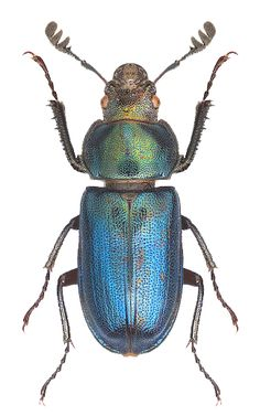 Platycerus caraboides – LUCANIDAE stag beetle