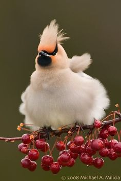 A fluffy cream and white bird sitting on a branch filled with red berries.