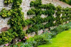 pear espalier and border garden . House of Dun - Montrose, Tayside, Scotland. Espalier Fruit Trees, Trees To Plant, Le Ranch, Garden Spaces, Garden Walls, Victorian Gardens, Potager Garden, Victory Garden, Garden Architecture