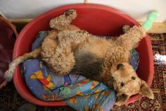 airedale bed posture