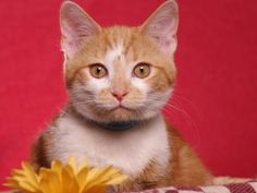 Squeeker is an adoptable Tabby - Orange Cat in Indianapolis, IN. Meet Squeeker. Take a look at that face. He's is such a cute kitty with a personality to match. He was picked up as a stray and is read...