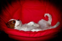 Just relaxing....#dogs #cavalier king charles spaniels