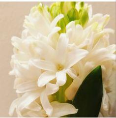 Dark Plum Flowers, Peach Flowers, All Flowers, Fresh Flowers, White Flowers, White Hyacinth, Hyacinth Flowers, Purple Calla Lilies, Wholesale Florist