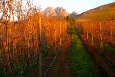 Atardece en los viñedos sudafricanos...