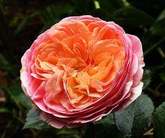 "Rose ""Chippendale"" (Tantau)"