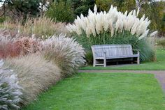 Pampas Grass (behind bench)  Tall 10' mounding habit with large, beautiful plumes