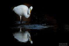 great white egret - null
