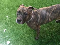 GONE  04/01/17 Remy..I am Gone..my life was taken 4/1/17 by NYC ACC ..I was 8 years old when I was surrendered to NYC ACC #StopEuthanasia #StopBsl