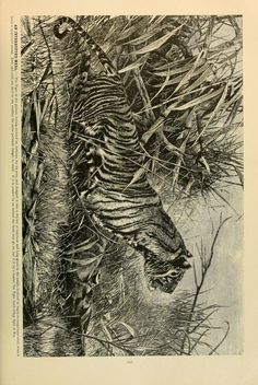 Tiger, Brehm's Life of Animals: A complete natural history for popular home instruction and for the use of schools, Alfred Edmund Brehm, Volume 1 (Mammalia), 1895.