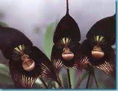 Black orchid from Soroa Cuba