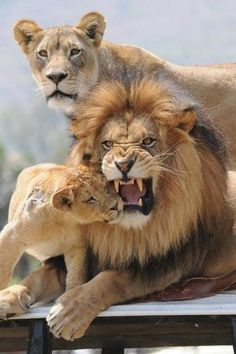Father Lions often put on false shows of anger or pain.  It emotionally prepares the kids for war.