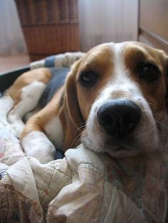 Jonathan the beagle. This guy is identical to my little girl, Baloo