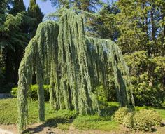 The evergreen foliage of an Atlas cedar tree is an excellent sight to behold with its bluish-greenish needles and cascading branches. It sure looks like an eternal waterfall in the garden. Conifer Trees, Trees And Shrubs, Columnar Trees, Evergreen Trees, Weeping Blue Atlas Cedar, Weeping Trees, Fall Containers, Cedar Trees, Big Leaves