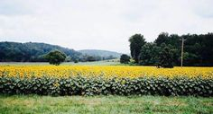 Most People Don't Know About This Magical Sunflower Field Hiding In South Carolina