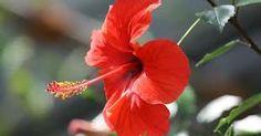 flor de jamaica para adelgazar - Buscar con Google