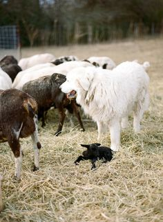 Great watch dog & herds the cattle very well! I call ours my gentle giant. He is part blonde lab & great pyrenees. Pyrenees Puppies, Great Pyrenees Dog, Dogs And Puppies, Farm Dogs, Sheep Dogs, Sheep Farm, Farm Animals, Cute Animals, A Well Traveled Woman