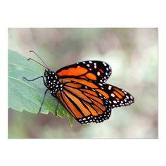 monarch resting on a leaf photo print