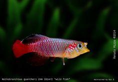 fwkillifishe1433715210 - Nothobranchius guentheri  ZAN 2014/2