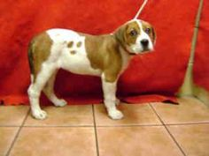 A4540914 *URGENT* DOWNEY SHELTER is an adoptable Saint Bernard St. Bernard Dog in Downey, CA. **WE NEED VOLUNTEERS TO POST & REMOVE PETS ON PETFINDER. IF YOU CAN COMMIT TO THE CAUSE OF HELPING SAVE SH...