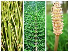 Această plantă ne poate dărui o tinerețe fără bătrânețe. Cercetătorii sârbi au descoperit că