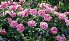 Perennial Combinations, Rose Combinations, Summer Borders, Planting Roses, Rose Gardening, Designing with Roses, English Roses, Rose Gertrude Jekyll, Geranium Brookside, Rosa Gertrude Jekyll, Pink English Roses, hardy geraniums