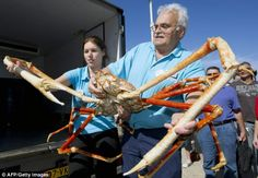 Claws for concern? 'Crabzilla' is 12ft across, 40 years old... and he's the BIGGEST ever to go on display