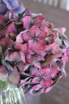 Dried hortensia <3