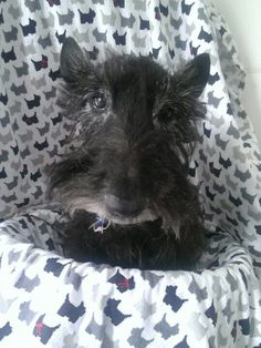 Neely will be 15 in January 2015...how awesome is that! (Owner Nancy Waddell - Beautiful Scotties )