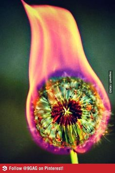 What happens when you set a dandelion on fire