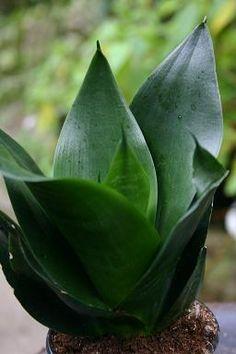Sansevieria 'Jade'
