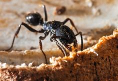 Everything you need to know about getting ready for your next carpenter ant treatment with Abell Pest Control Abell's Client preparation checklist for the co.