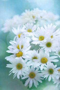 White daisies )