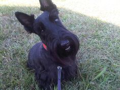 Our future Scottish terrier .. which we will name STERLING.