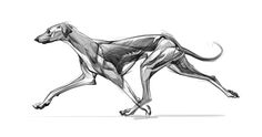 Pin by jude walker on art анатомия животных, анатомический Dog Anatomy, Animal Anatomy, Anatomy Drawing, Anatomy Study, Animal Sketches, Animal Drawings, Animal Design, Dog Design, Greyhound Kunst