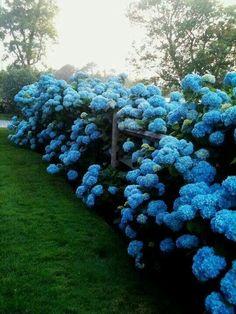 My idea of heaven...blue hydrangeas along a split rail fence