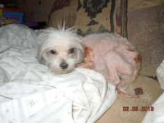 PLEASE HELP PATRICK! SPONSORS NEEDED! is an adoptable Maltese Dog in Leslie, AR. We are currently looking for anyone who may be willing to help us get this poor, pitiful little man restored to health ...