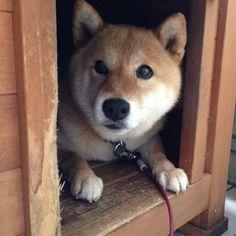 雨の日は退屈。早く雨止まないかな。 #shiba #dog #komugi #柴犬