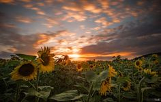 Photograph Sunflowers by Tomaž Klemenšak on 500px