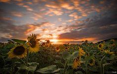 Photograph Sunflowers by Tomaž Klemenšak on 500px