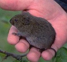 Voles Moles How to Get Rid of Them How to get rid How to get