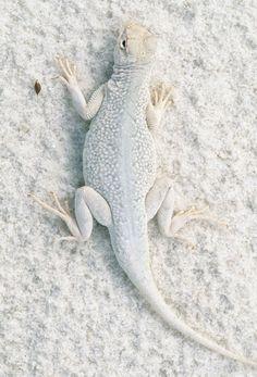 White lizard