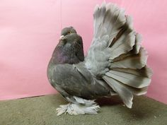 Indian Fan tail Pigeon Beautiful Birds, Animals Beautiful, Fantail Pigeon, Poultry Breeds, Pigeon Pictures, Ganesha, Garden Sculpture, Fancy, Birds
