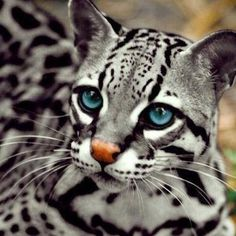 A gorgeous blue eyed ocelot. #big_cats #animals #wildlife