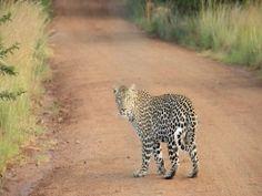 Leopardo en un camino