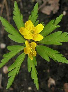 Keltavuokko, Anemone ranunculoides - Kukkakasvit - LuontoPortti