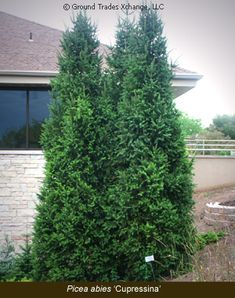 Columnar Norway Spruce:  Tough tree for tough planting areas.